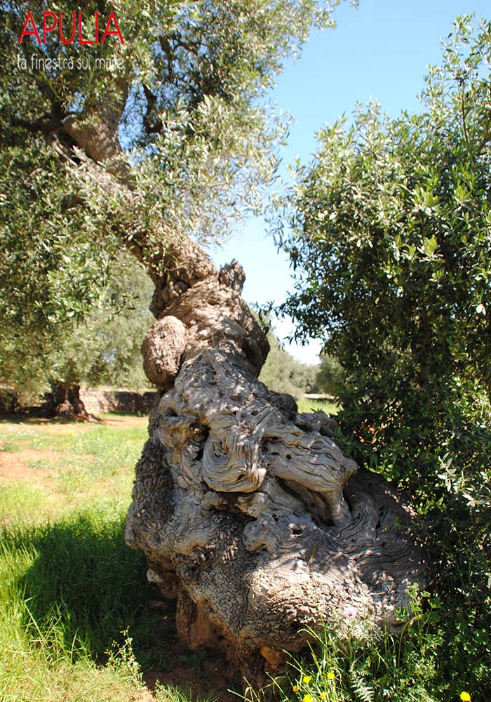 Old olive trees...nature scultures :)